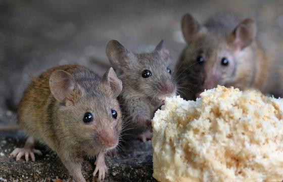 atrayente en gel para ratones en Panamá