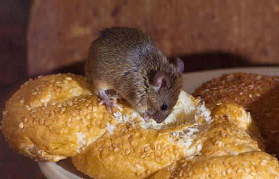 equipo para control de roedores en Panamá