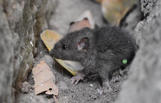 Productos de cebo para roedores en Panamá