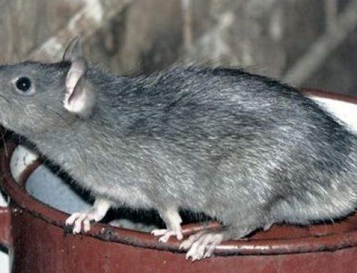 Control de roedores: veneno