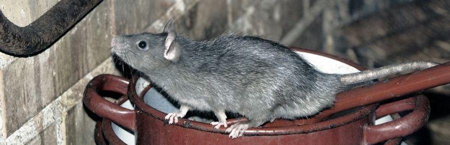 veneno para ratas en Panamá