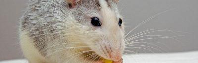 trampa para ratones en Panamá