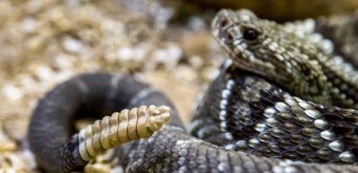 Repelente para serpientes en Panamá