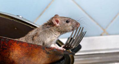 Trampa para ratas en Panamá