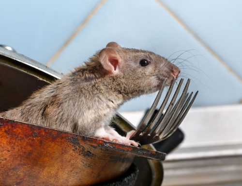 Trampa para ratas